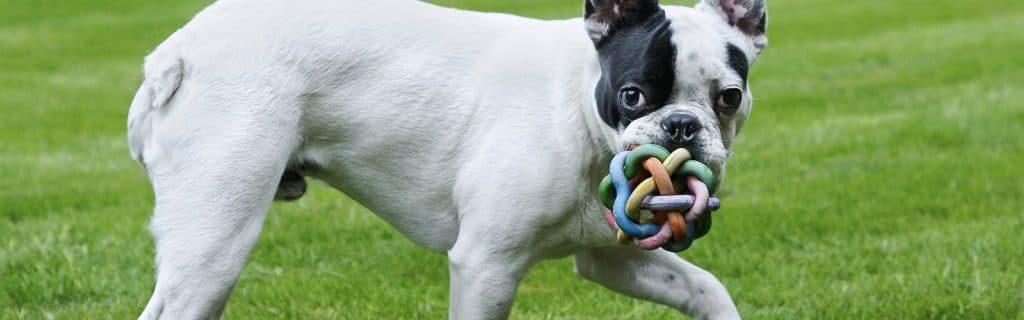 Perro bulldog frances sujetando pelota de plastico.
